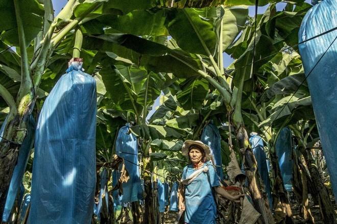 Các doanh nghiệp Trung Quốc đang tham gia rất nhiều vào hoạt động trồng chuối ở Myanmar (Nguồn: Frontier Myanmar)