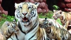 Covid-19 ở Ấn Độ: 8 con sư tử ở Công viên dương tính với virus SARS-CoV-2