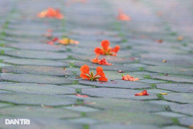 Hoa phượng rực rỡ sắc đỏ to điểm phố phường Hà Nội