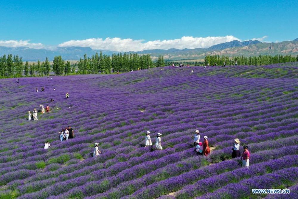 Lễ hội hoa oải hương quốc tế ở Tân Cương