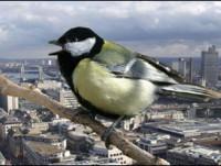 Chim ở đô thị thông minh hơn chim ở nơi hoang dã